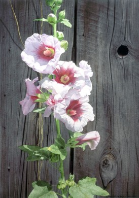"""Hollyhocks and Barnwood"" - size 21in x 14in - $1500"