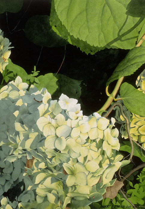 White Hydrangea in Golden Light - sold